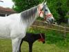 jashita-little-pferde